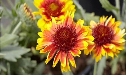 Fleur de couverture