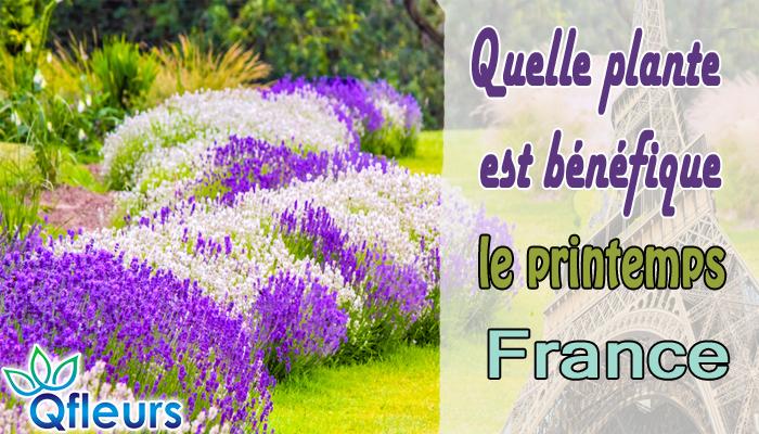 Quelle plante est bénéfique pour le printemps en France