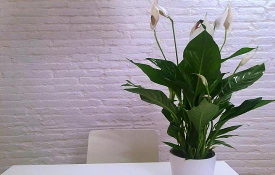 Lily de la paix
