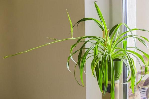 Plante araignee