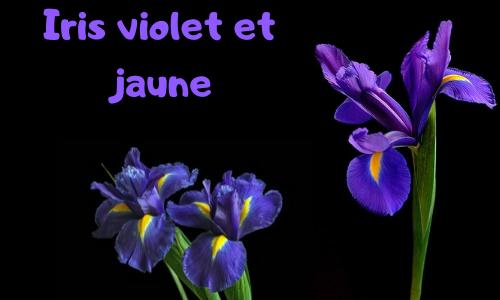 Iris violet et jaune