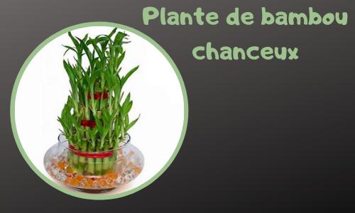 Plante de bambou chanceux