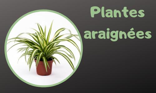Plantes araignées