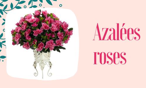 Azalées roses