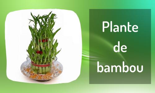 Plante de bambou