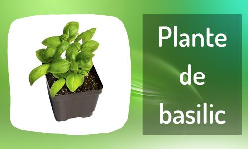 Plante de basilic