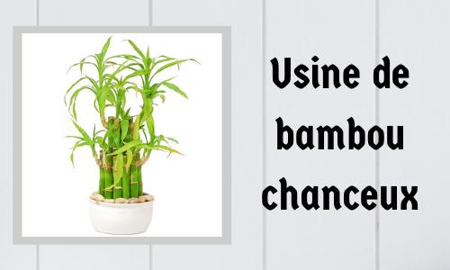 Usine de bambou chanceux