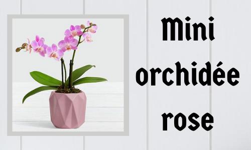 Mini orchidée rose