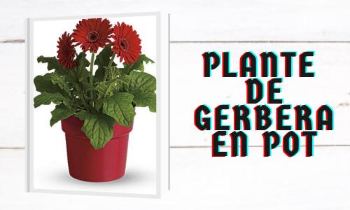 Plante de Gerbera en pot