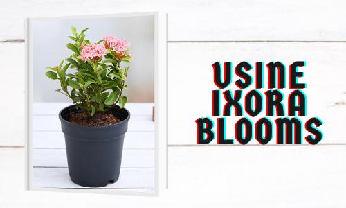 Usine Ixora Blooms