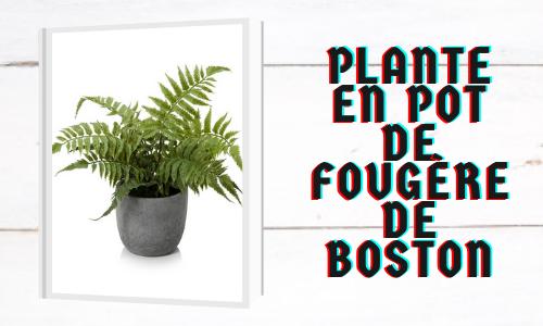 Plante en pot de fougère de Boston