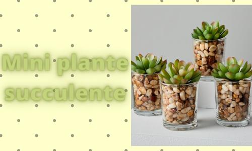 Mini plante succulente
