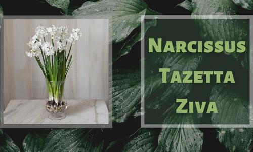 Narcisse Tazetta Ziva