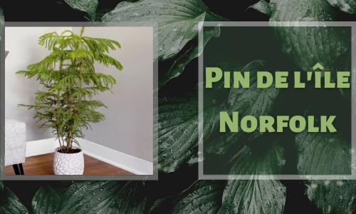 Pin de l'île Norfolk