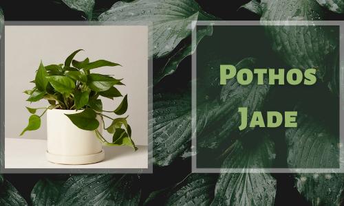 Pothos Jade