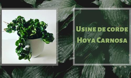 Usine de corde Hoya Carnosa