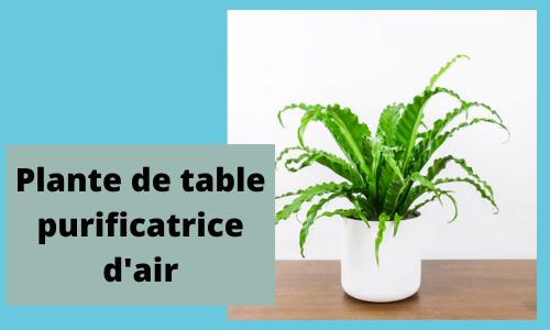 Usine de table purificatrice d'air
