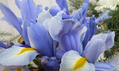Iris bleu
