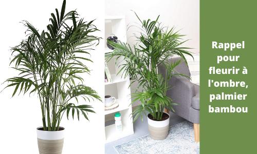 Rappel pour fleurir à l'ombre, palmier bambou