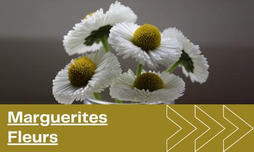 Marguerites Fleurs
