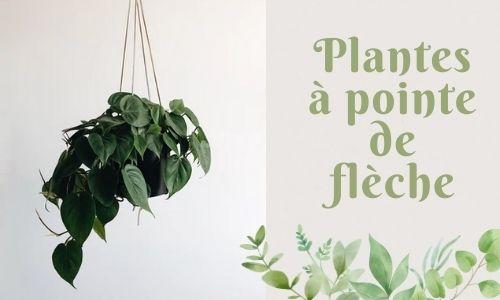 Plantes à pointe de flèche