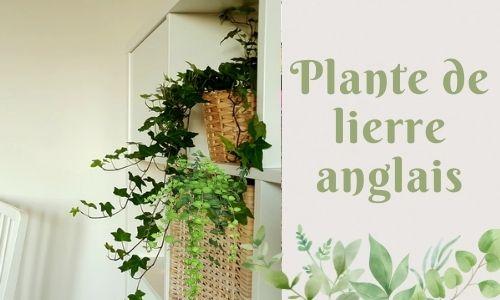 Plante de lierre anglais